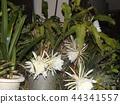 밤 큰 하얀 꽃을 피우고 밤 안에 주름 월하 미인 꽃 44341557
