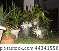 밤 큰 하얀 꽃을 피우고 밤 안에 주름 월하 미인 꽃 44341558