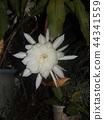 밤 큰 하얀 꽃을 피우고 밤 안에 주름 월하 미인 꽃 44341559