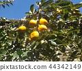 persimmon, fruit, orange 44342149