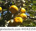 persimmon, fruit, orange 44342150