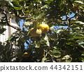 persimmon, fruit, orange 44342151