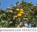 persimmon, fruit, orange 44342152