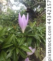 A purple flower that I think is Colchicum 44342157
