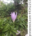 A purple flower that I think is Colchicum 44342253
