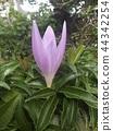 colchicum, bloom, blossom 44342254