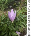 A purple flower that I think is Colchicum 44342256