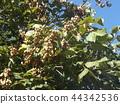 chinese parasol-tree, ashen, gray 44342536