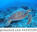거북이, 바다거북, 푸른바다거북 44345594
