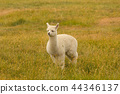 White cute baby alpaca playing over green glass 44346137