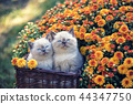 Two cute little kittens in a basket with flowers 44347750