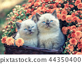 Two kittens in a basket near chrysanthemum flowers 44350400