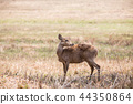 Hog deer ( Hyelaphus porcinus ) 44350864