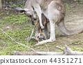오무 타시 동물원 캥거루, 44351271