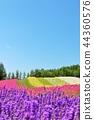 藍天 花園 熏衣草 44360576
