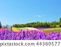 藍天 花園 熏衣草 44360577