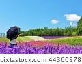 花園 熏衣草 薰衣草 44360578