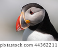 Atlantic Puffin 44362211