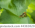 Closeup green frog on lotus leaf 44363629