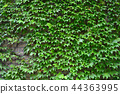 koshien stadium, outer wall, ivy 44363995