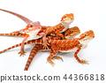 동물, 도마뱀, 도롱뇽 44366818