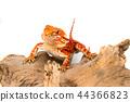 동물, 도마뱀, 도롱뇽 44366823