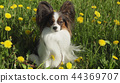 Beautiful dog Papillon sitting on green lawn with dandelions 44369707