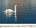 One Mute Swan swim on a Blue Lake 44370841