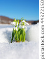 Snowdrops rising from the snow and ice 44372150