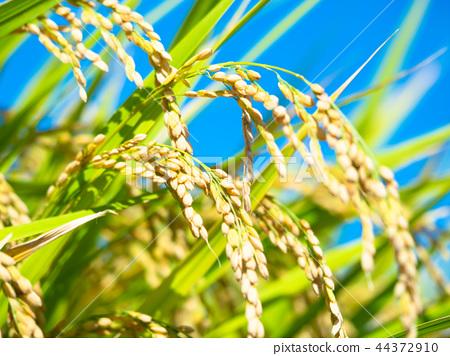 米飯生長在金黃色 44372910