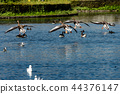 mallard duck flying 44376147