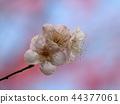 매화, 매화꽃, 매화 정원 44377061