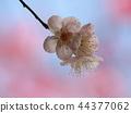 매화, 매화꽃, 매화 정원 44377062