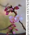 벚나무, 벚꽃, 봄 44377824