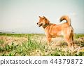 柴犬 丛林犬 狗 44379872