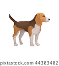Lovely beagle puppy standing isolated on white background, side view. Home pet. Small dog with brown 44383482