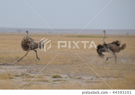 Amboseli National Park Ostrich 44393201