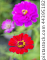 꽃, 플라워, 백일초 44395182