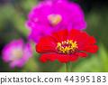 꽃, 플라워, 백일초 44395183