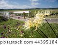 피안화, 석산, 꽃무릇 44395184