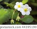 草莓 花朵 花卉 44395190