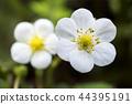 草莓 花朵 花卉 44395191