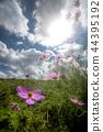 꽃, 플라워, 코스모스 44395192