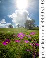 꽃, 플라워, 코스모스 44395193