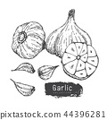 Garlic Collection, Hand Draw Garlic Vector Set. 44396281
