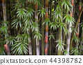 Bamboo trees close up in daylight 44398782