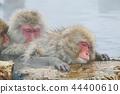 스노우몽키, 온천 원숭이, 지고쿠다니 야생원숭이 공원 44400610