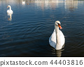 Mute Swans swim on a Dark Blue Lake 44403816