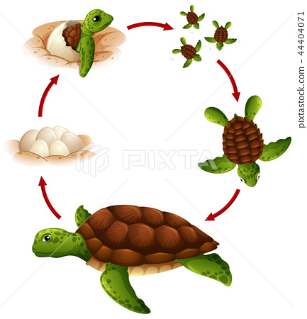 Life cycle of turtle 44404071