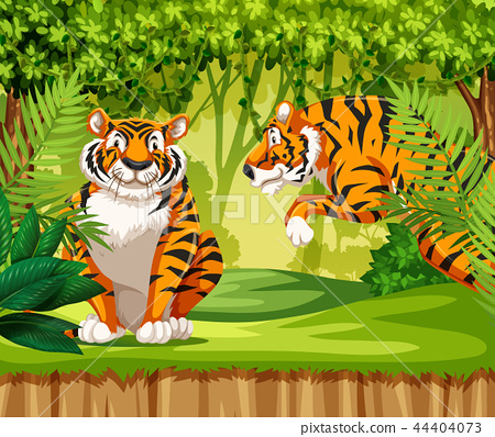 Tigers in the jungle 44404073